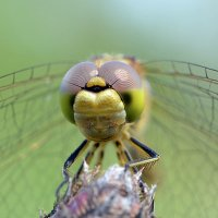 Портрет  стрекозы :: Геннадий Супрун