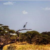 Смотрящий вдаль...Танзания! :: Александр Вивчарик