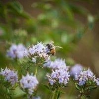 Пчела Майя :: Фазлиддин Инагамов