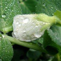 Капельки дождя. :: Елизавета Успенская