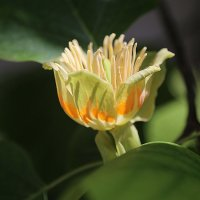 Цветок тюльпанового дерева :: Alexander Varykhanov