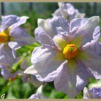 Цветки картофеля :: OLLES