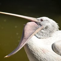 Пеликан не ворона, но пеликанит во все горло))) :: Мила Мит