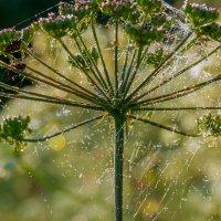 На паутинке как дождь... :: Юрий Стародубцев