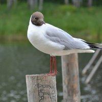 Озерная чайка :: Милешкин Владимир Алексеевич