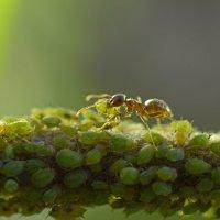 тля и муравей :: Алена Рыжова