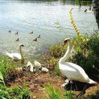 Мирно соседствуют люди, утки, лебеди... :: Маргарита Батырева