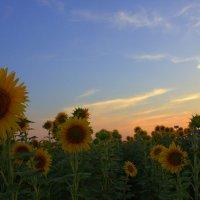 В поле на закате :: оксана косатенко