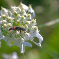 Неизвестное насекомое :: Анатолий Иргл
