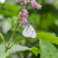 Бабочка и Сирень :: Дима Пискунов