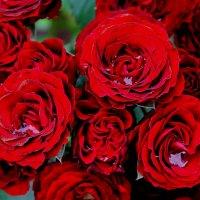 Розы :: Альберт Казачёк
