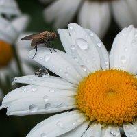 Пошла муха... :: Виктор Четошников