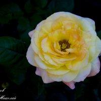 роза 2 :: Николай П.