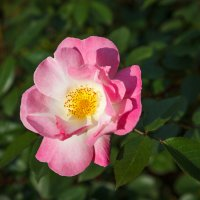 Роза садовая :: Андрей Нибылица
