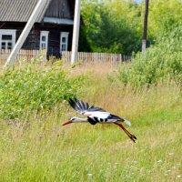 Белый аист летит... :: Сергей F