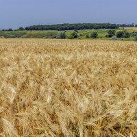 Пшеница :: Игорь Сикорский