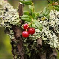 ягодки, бруснички. :: Ирина Кузина