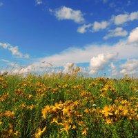 Российские поля.Зверобой цветет :: Павлова Татьяна Павлова