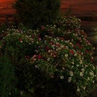 Ночная красавица ночью :: Светлана
