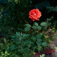 Роза :: Николай Николенко
