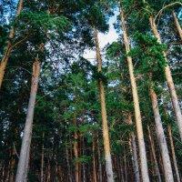 Сосны в лесу :: Света Кондрашова