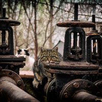 Дворовые коты :: Вадим