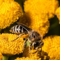 Земляная пчела андрена :: Андрей Вигерчук