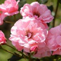 Розы :: Олеся