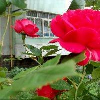 Розовое лето :: Нина Корешкова