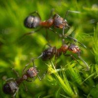 муравьи :: Алексей Бородин