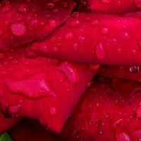 Розовые слёзы :: Владимир Шамота