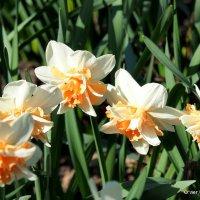 цветочные истории-городские цветы,нарциссы :: Олег Лукьянов
