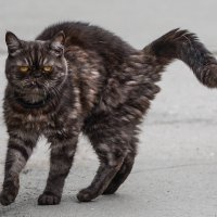 Саблезубый...кот :: cfysx