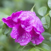 Шиповник под дождем :: Елена Баландина