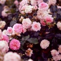 Цветы :: София Чацкая