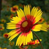 Солнечный цветок Гайлардия. :: *MIRA* **