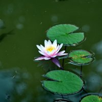 Красавица Нимфея- царица лесного озера. :: Ольга Голубева