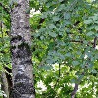 Страж леса :: ivolga