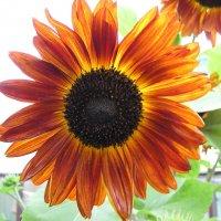 Солнечный цветок :: Елена Якушина