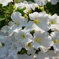 Белые цветы :: Ольга