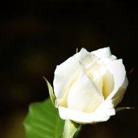 Белая королева :: Лариса Журавлева