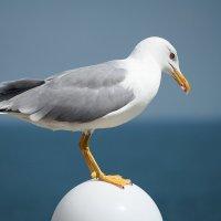 Романтичная чайка :: Swetlana V