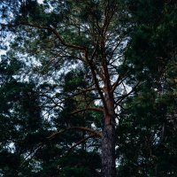 Могучие лесные деревья :: Света Кондрашова