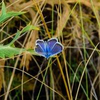 Голубой мотылек :: Юрий Шапошник