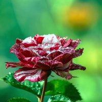 роза :: олег