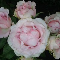 семейка роз.. :: Марина