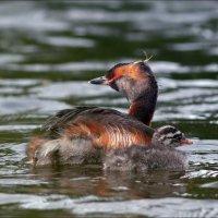 Красношейная поганка с птенцом :: Андрей Медведев