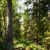 Северный лес :: Ольга Чистякова