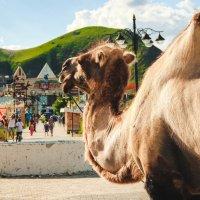 Верблюд и горы)) :: Anastasia Silver
