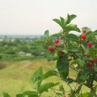 ягодки :: Елена Ищенко